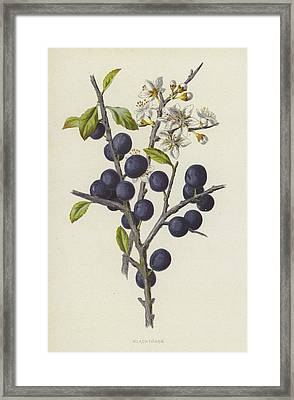 Blackthorn Framed Print by Frederick Edward Hulme