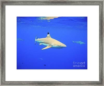 Blacktip Reef Shark Framed Print