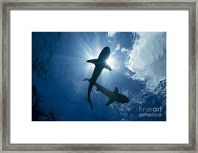 Blacktip Reef Sharks  Carcharhinus Framed Print