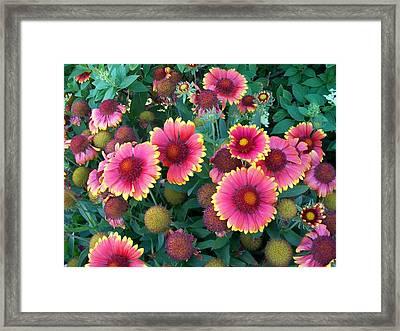 Blanket Flower Framed Print by Sharon Duguay