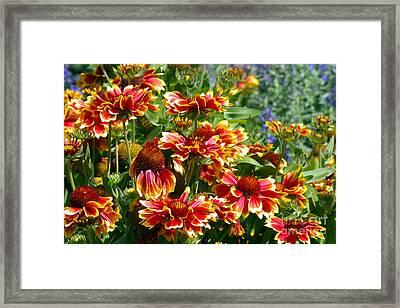 Blanket Flowers Framed Print by Sharon Talson