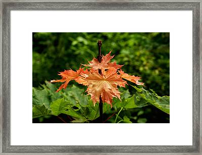 Blazing Maple Leaves Framed Print