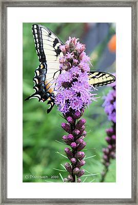 Blazing Stars And Yellow Swallowtails Framed Print