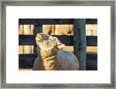 Bleating Sheep Framed Print