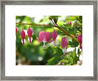Bleeding Heart Blooming Framed Print