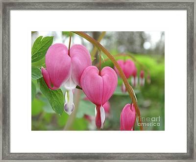 Bleeding Heart Blooms Framed Print