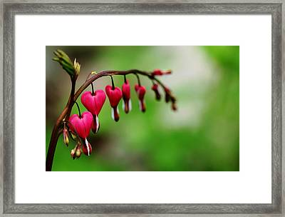 Framed Print featuring the photograph Bleeding Hearts Flower Of Romance by Debbie Oppermann