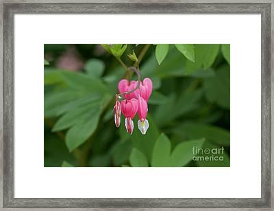 Bleeding Hearts Framed Print