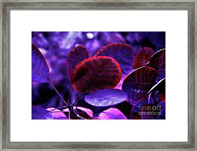 Bleeding Violet Smoke Bush Leaves - Pantone Violet Ec Framed Print