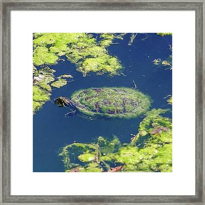 Framed Print featuring the photograph Blending In Turtle by Raphael Lopez