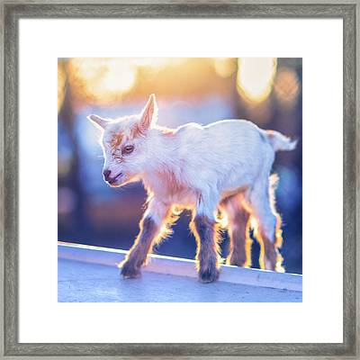 Little Baby Goat Sunset Framed Print by TC Morgan