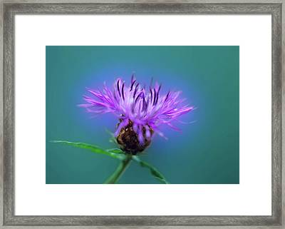 Cornflower. Framed Print by Daniel Furon