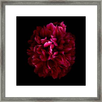 Blood Red Peony Framed Print