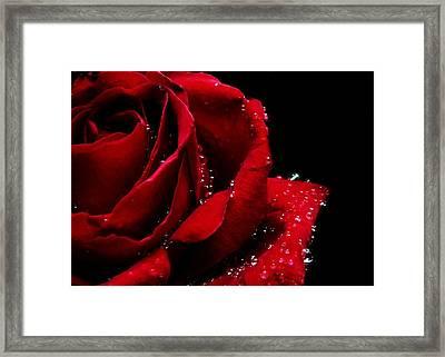 Blood Red Rose Framed Print