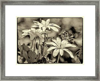 Bloodroot And Vinca Wildflowers - Sepia Framed Print by Mother Nature