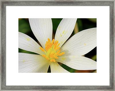 Bloodroot Closeup Framed Print by John Burk