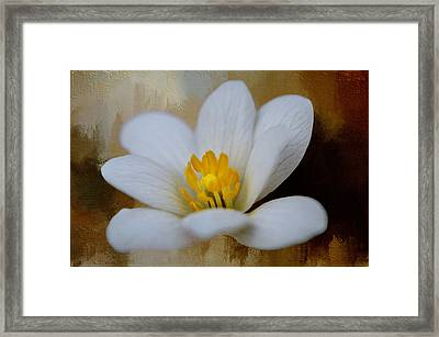 Bloodroot Framed Print by Diana Boyd