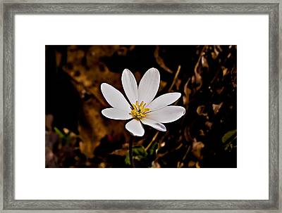 Bloodroot Bloom Framed Print by Michael Whitaker