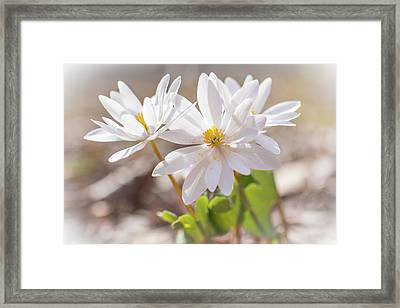 Bloodroot Wildflowers In The Sun - Sanguinaria Canadensis Framed Print by Mother Nature