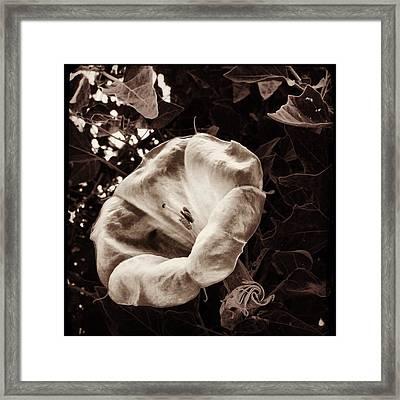 Bloom In Sepia Framed Print