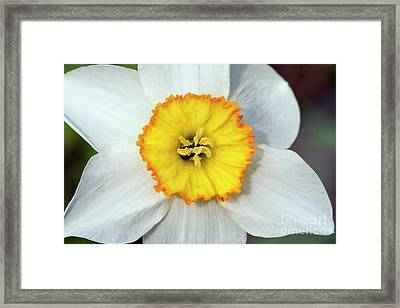 Bloom Of Narcissus Framed Print by Michal Boubin