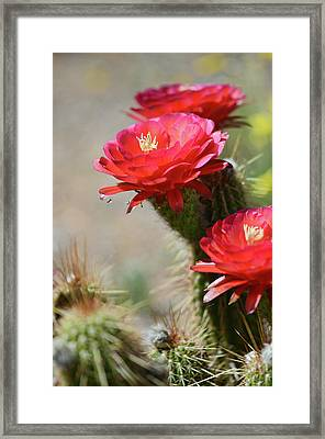 Framed Print featuring the photograph Bloomin' Cacti by Barbara Manis