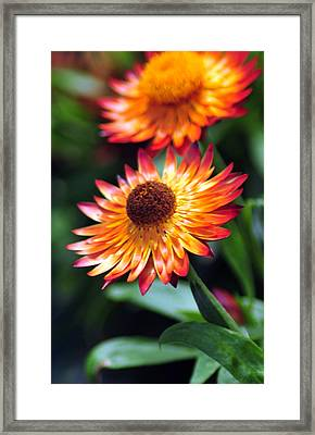 Bloomin' Loverly Framed Print by J DeVereS