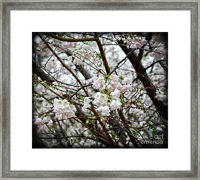 Blooming Apple Blossoms Framed Print by Eva Thomas