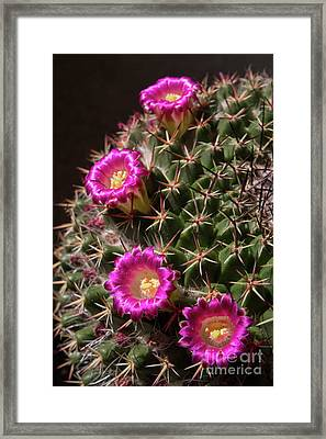 Blooming Cactus Framed Print