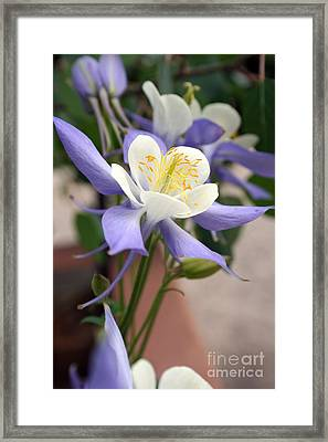 Framed Print featuring the photograph Blooming Columbine by Andrew Serff