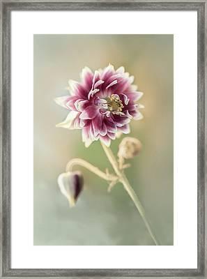 Blooming Columbine Flower Framed Print