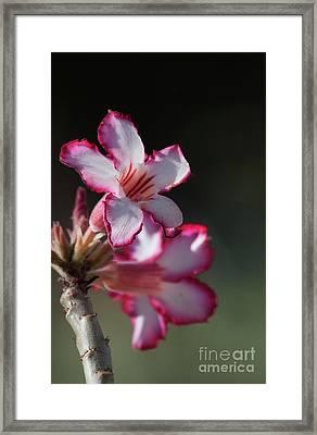 Blooming Desert Rose Framed Print