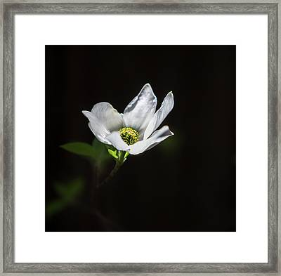 Blooming Dogwoods In Yosemite 3 Framed Print
