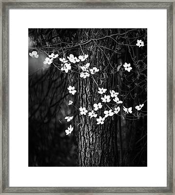 Blooming Dogwoods In Yosemite Black And White Framed Print