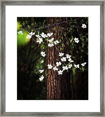 Blooming Dogwoods In Yosemite Framed Print by Larry Marshall
