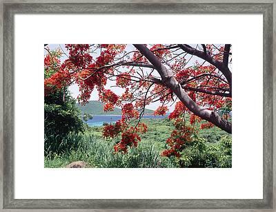 Blooming Flamboyan Tree Tamarindo Bay  Culebra Island  Puerto Rico Framed Print by George Oze