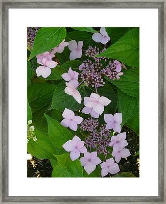 Blooming Hydrangea Framed Print by Connie Young