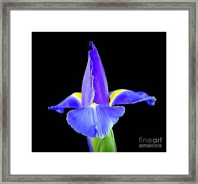 Blooming Iris 1318-1 Framed Print
