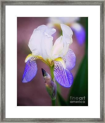 Blooming Iris Framed Print by Shawn Bamberg