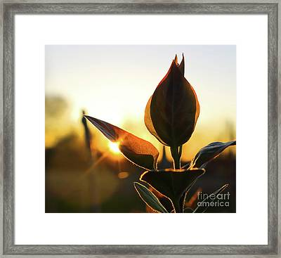 Blooming Lilac At Sunset Framed Print