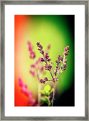 Blooming Lilac Framed Print