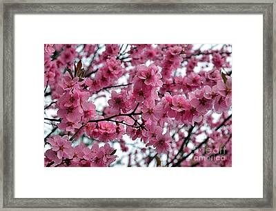 Blooming Lilacs A Symbol Of Spring Framed Print