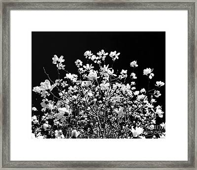Blooming Magnolia Tree Framed Print