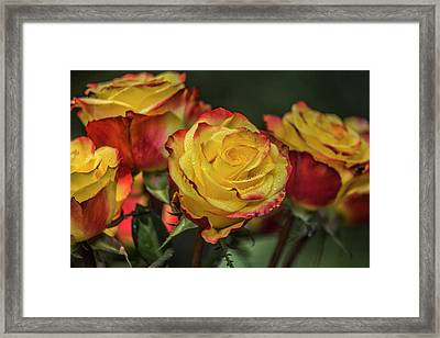 Oh My God It's Another  Rose Image Framed Print by Betsy Knapp