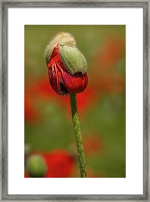 Blooming Orange Poppy Framed Print