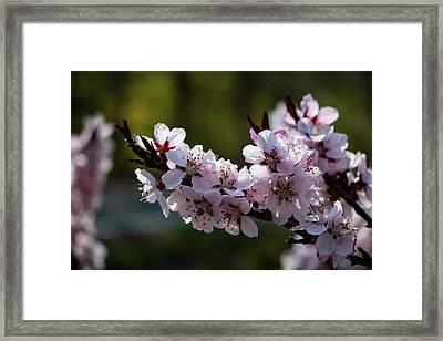 Blooming Peach Tree Framed Print