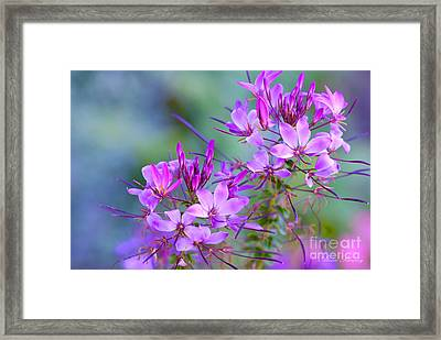 Framed Print featuring the photograph Blooming Phlox by Alana Ranney
