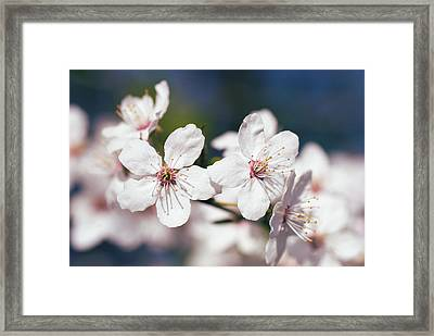 Blooming Plum Tree  Framed Print