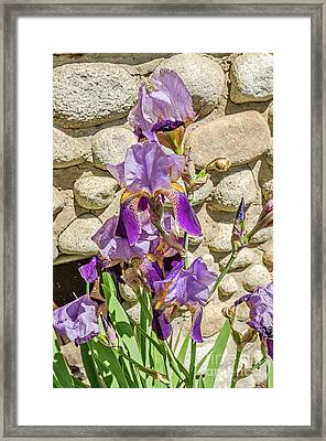 Framed Print featuring the photograph Blooming Purple Iris by Sue Smith