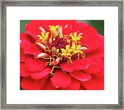 A Blooming Red Flower Framed Print by Oksana Bachynska